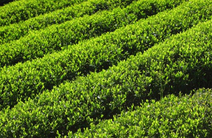 宇治抹茶新商品開発・販路開拓支援事業